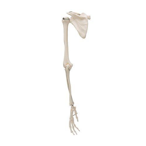 3B Scientific® Armskelett med skulderblad A46