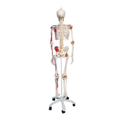 3B Scientific® Deluxe helskelett med muskler och ligament A13
