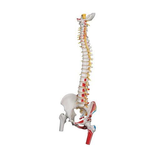 3B Scientific® Deluxe ryggrad med lårbenshuvud A58/7