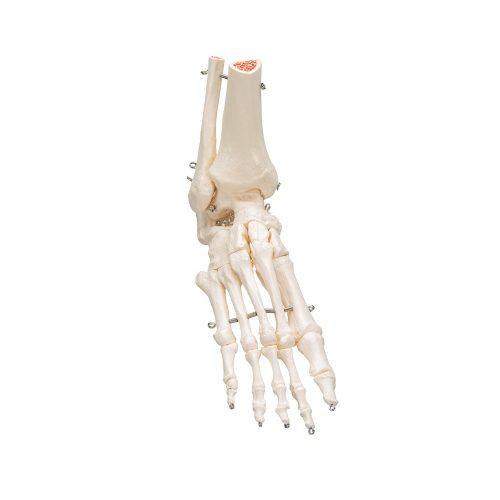 3B Scientific® Fot och fotledsskelett A31
