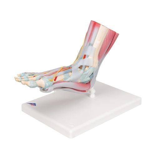 3B Scientific® Fotskelett med ligament och muskler M34/1