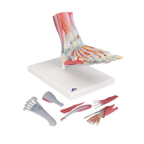 3B Scientific® Fotskelettmodell med ligament och muskler M34/1