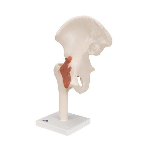 3B Scientific® Höftled med ligament A81