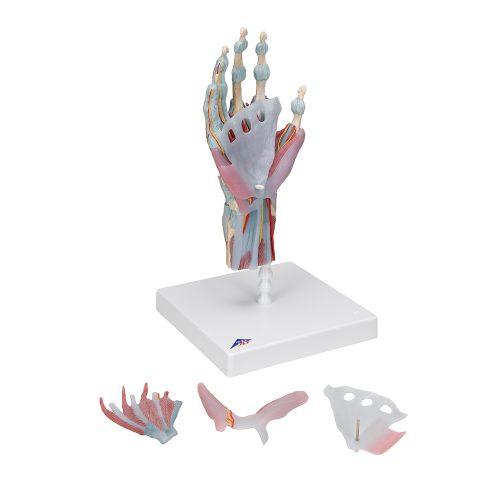 3B Scientific® Handskelett med ligament och muskler M33/1