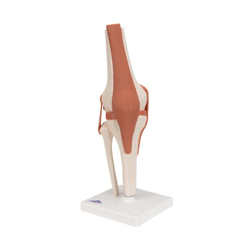 3B Scientific® Knäled med ligament A82