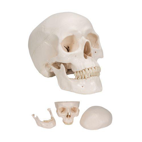 3B Scientific® Kranium i 3 delar A20