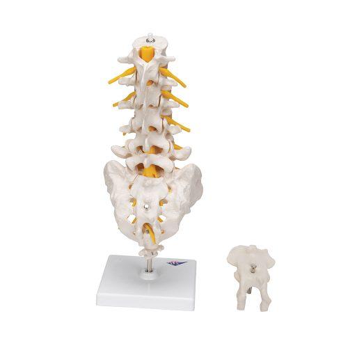 3B Scientific® Lumbar ryggrad A74