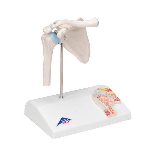 3B Scientific® Mini axelled i genomskärning A86/1