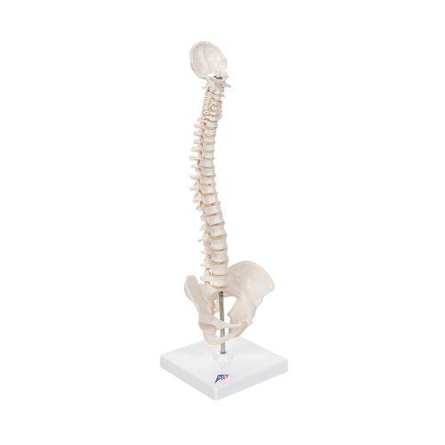 3B Scientific® Mini ryggrad med nackben och bäcken A18/21