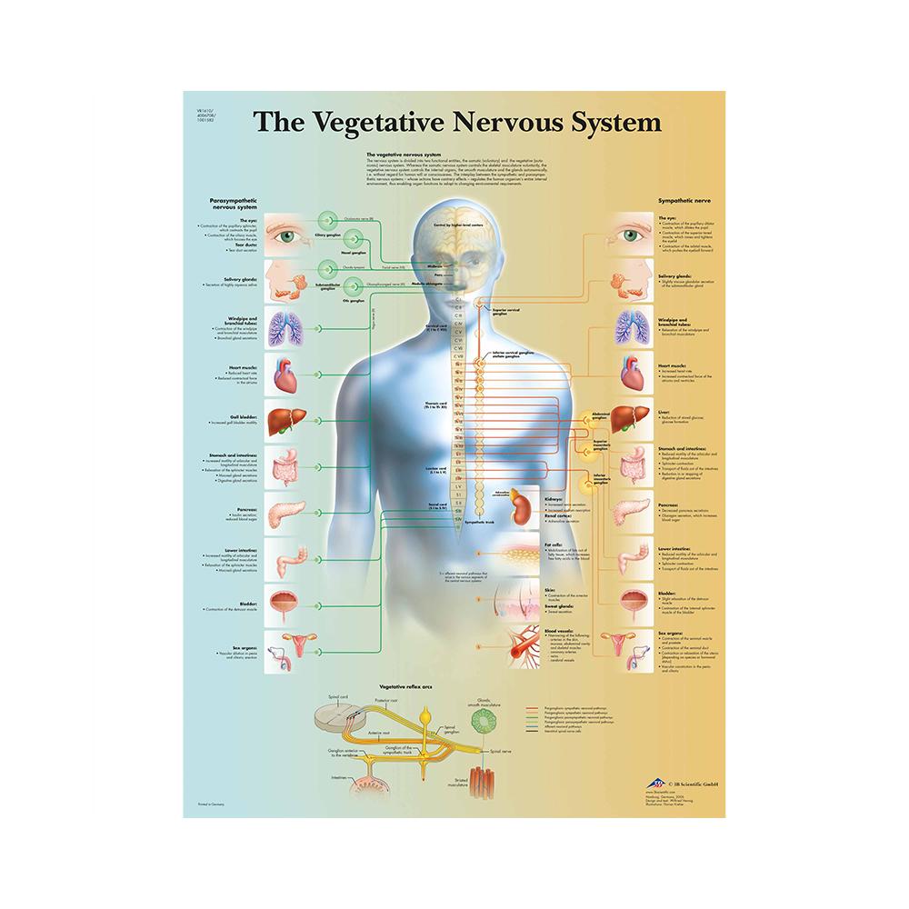 "3B Scientific® ""The Vegetative Nervous System"" 50 x 67 cm"