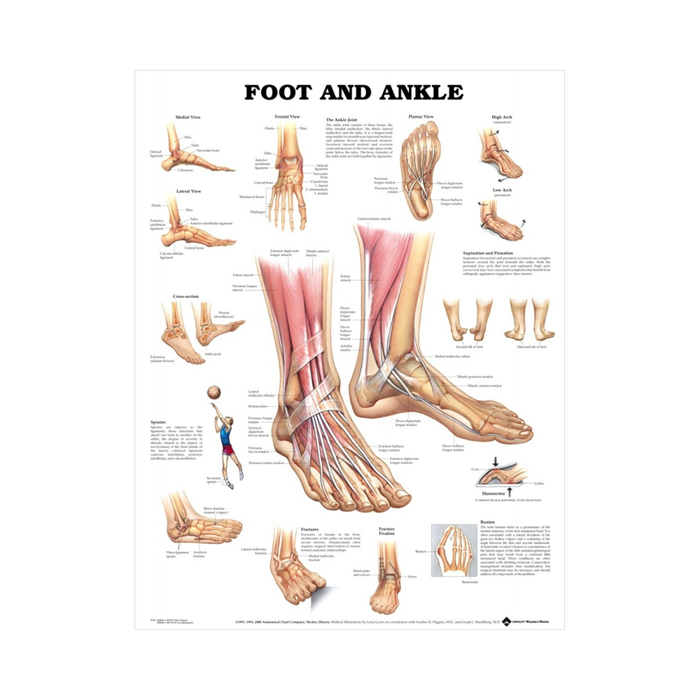"Anatomisk Plansch ""Foot and Ankle"" 66 x 51 cm"