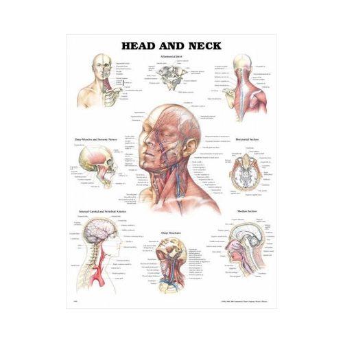 "Anatomisk Plansch ""Head and Neck"" 66 x 51 cm"