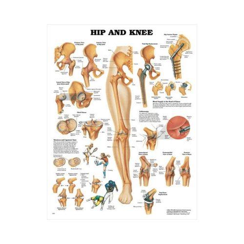 "Anatomisk Plansch ""Hip and Knee"" 66 x 51 cm"