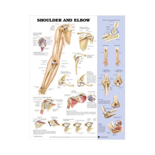 "Anatomisk Plansch ""Shoulder and Elbow"" 66 x 51 cm"