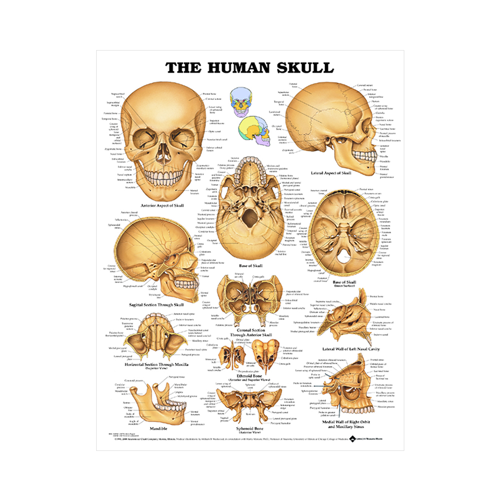 "Anatomisk Plansch ""The Human Skull"" 66 x 51 cm"