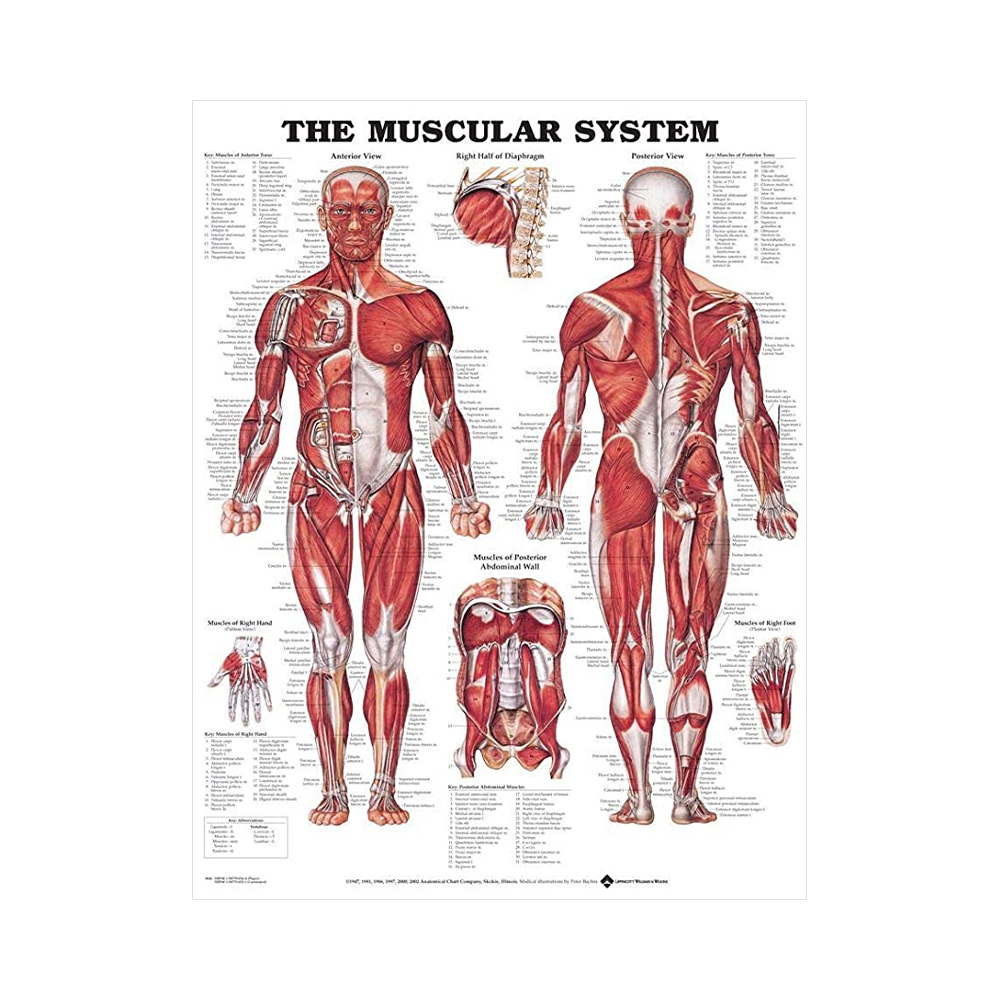 "Anatomisk Plansch ""The Muscular System"" 66 x 51 cm"