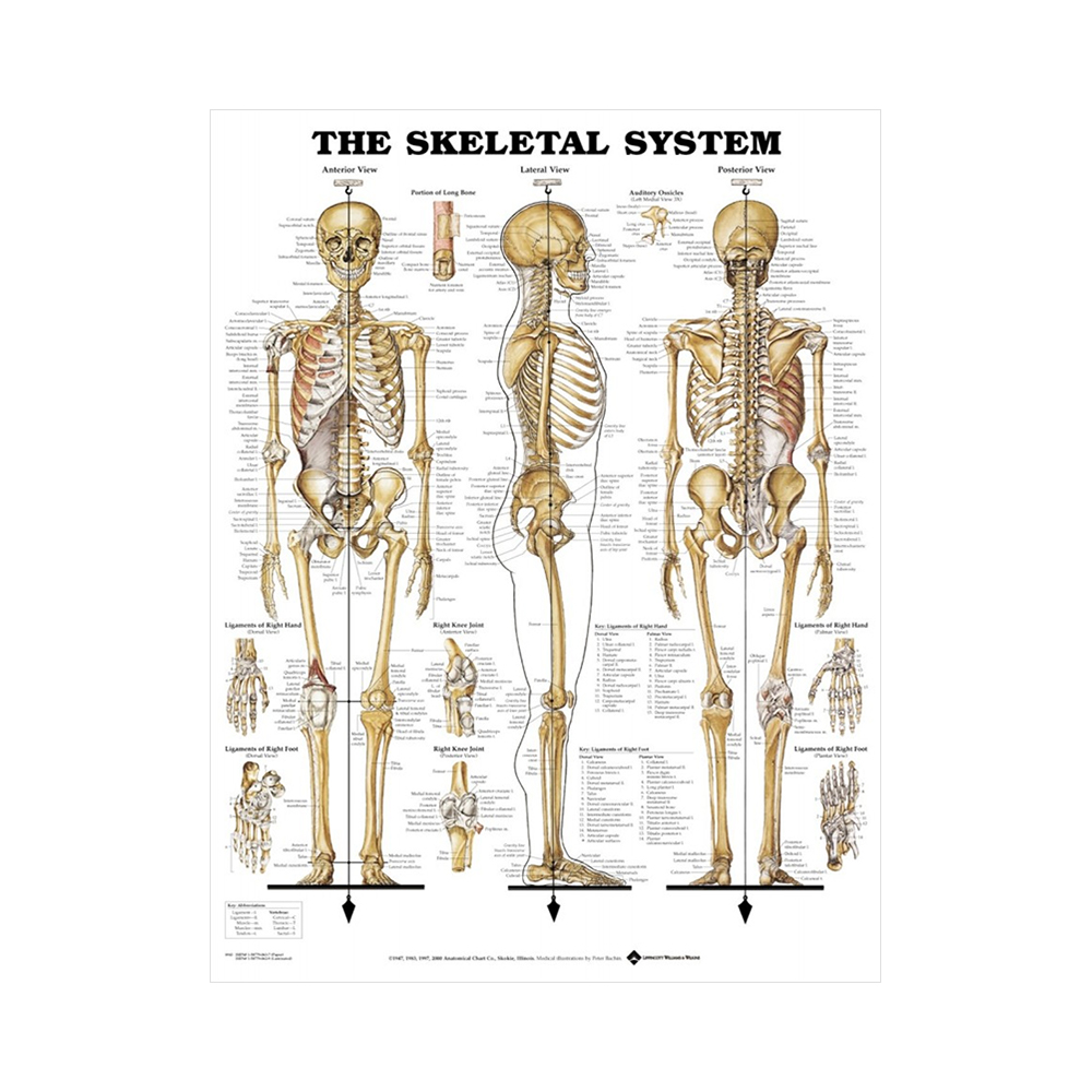 """Anatomisk Plansch """"The Skeletal System"""" 66 x 51 cm"""