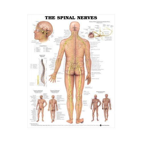 "Anatomisk Plansch ""The Spinal Nerves"" 66 x 51 cm"