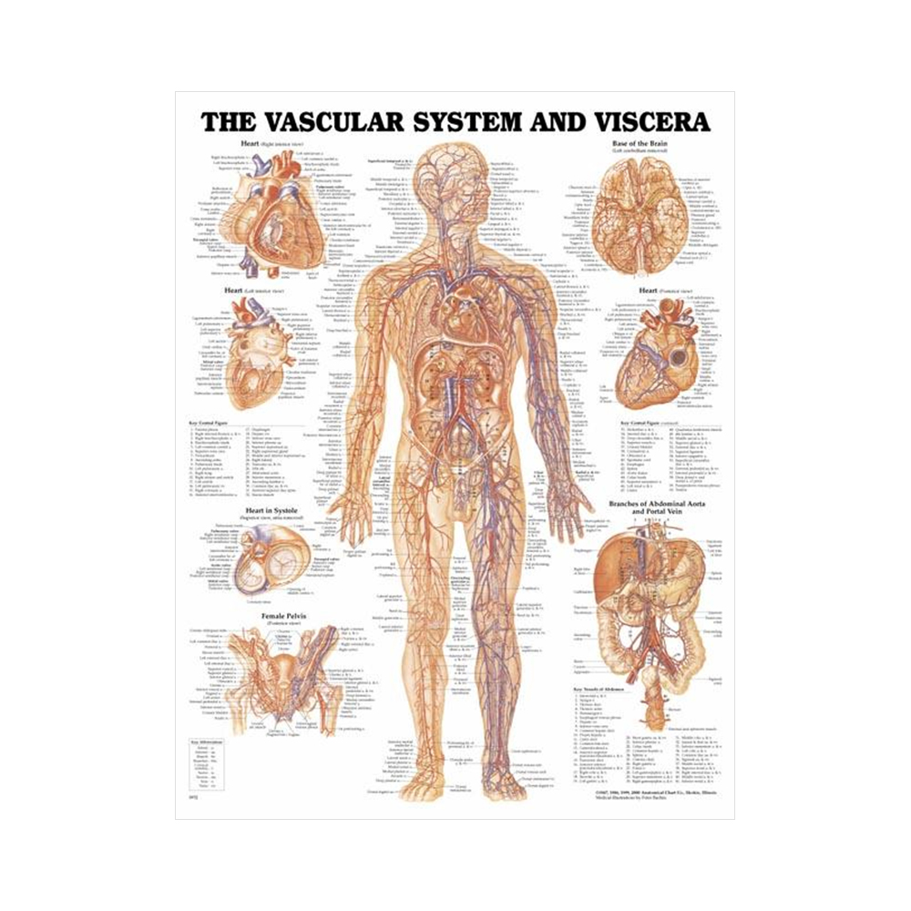 "Anatomisk Plansch ""The Vascular System and Viscera"" 66 x 51 cm"